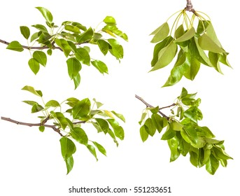 pear tree branch with leaves isolated on white background. Set
