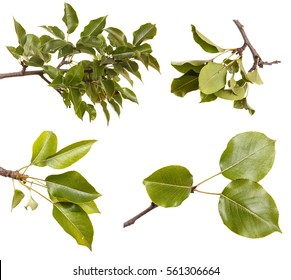 pear tree branch with leaves isolated on white background