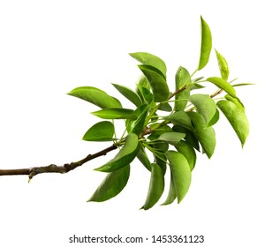pear tree branch on an isolated white background. stick pear tree with green foliage isolate