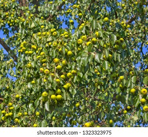Pear tree branches covered with fruits