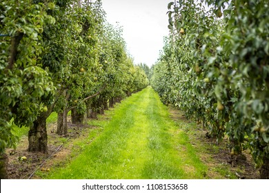 Pear tree orchard on a beautiful day