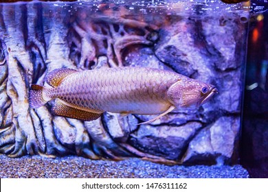 Pearl Arowana Fish view in close up in an aquarium