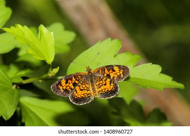 Pearl Crescent Butterfly - Close up photograph of a Pearl Crescent Butterfly resting on a green leaf.  Selective focus on the wings of the butterfly.