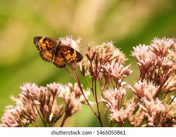 Pearl Crescent Butterfly feeding on pink Joe Pye Weed Wildflowers