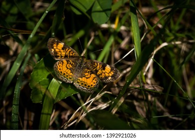 Pearl crescent butterfly orange and black with white spots resting with open extended wings on green grass with dew
