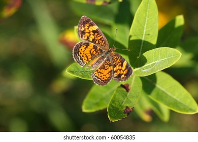 Pearl Crescent Butterfly - Phyciodes tharos
