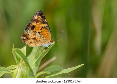 A Pearl Crescent perched on a green plant