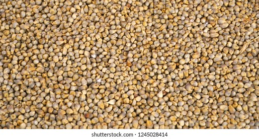 Pearl Millet Seeds Also Know as Bajra or Indian Millet as background.