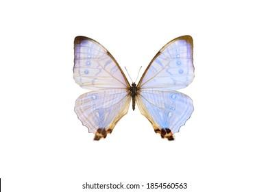 Pearl Morpho sulkowski lympharis, hellblauer Schmetterling einzeln auf weißem Hintergrund