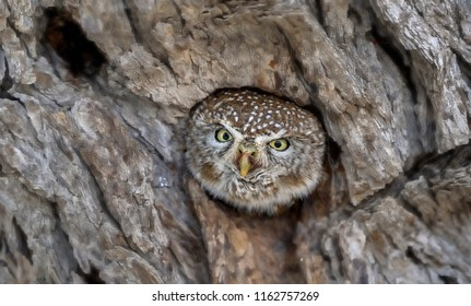 PEARLSPOTTED OWL. Smallest of theAfrican owls.