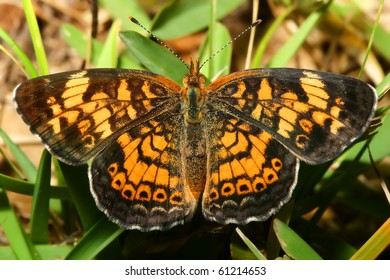 Pearly Crescent Spot Butterfly