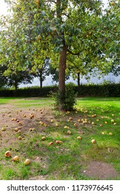 Also pears doesn't fall far from the tree in Voorst in the Netherlands