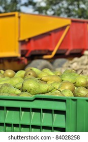 pears in green crate on harvest day