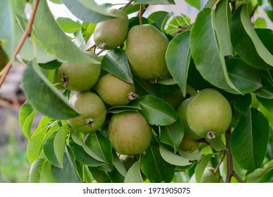 Pears on branches with green leaves in the garden
