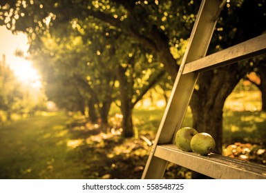 pears on the ladder in orchard