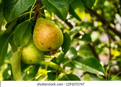 Pears on the tree in the garden