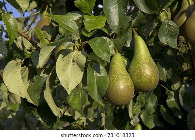 Pears on a tree in an orchard near Zaltbommel, the Netherlands
