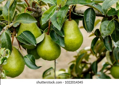 Pears on the tree. Selective focus