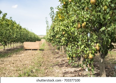 Pears in orchard. Pears trees and a big wooden crate