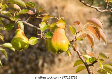 Pears ripening on a tree in Portugal