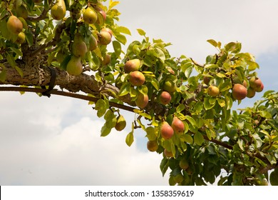 Pears trained over an arch ready for picking