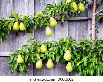 pears at a tree - close-up