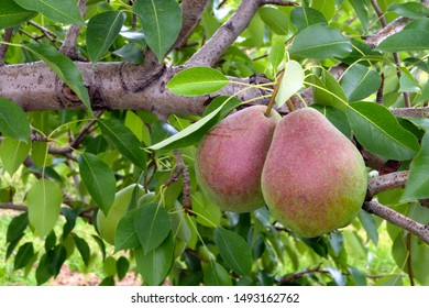 pears in tree fresh organic fruits agriculture