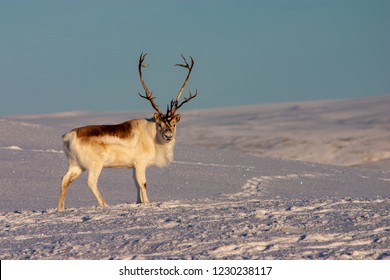 Peary Caribou buck standing.