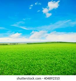 Peas field and blue sky