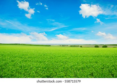 Peas field and blue sky. Summer landscape.