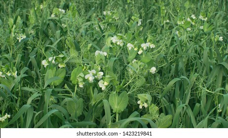 Peas and oats detail for green fertilization mulch field and soil nutrition for other crops and green manure farming organic, important for agricultural production, cover crop agricultute - Shutterstock ID 1423219841