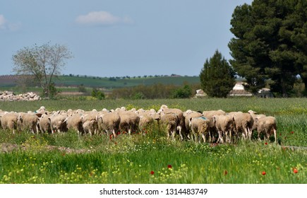Peasant scene with flock of sheep
