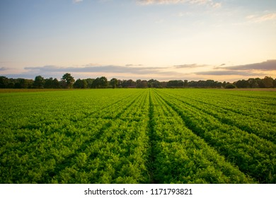 Peasantry with harvested carrots field at evening light. Location: Germany, North Rhine - Westphalia, Borken