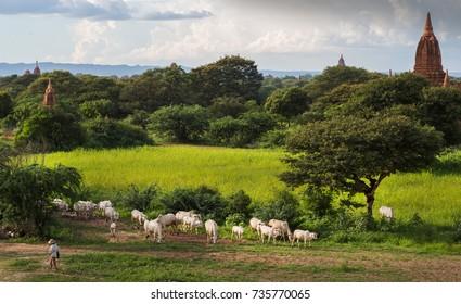 Peasants graze cows on the territory of the old temples of Bagan, Myanmar (Burma)
