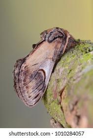 Pebble Prominent moth ( Notodonta ziczac ) in the family Notodontidae. Sitting on a twig with a blurred background.