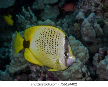 Pebbled Butterflyfish, Chaetodon multicinctus on reef underwater big island Hawaii
