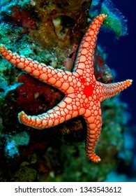Pebbled sea star (Celerina heffermani).