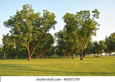 Pecan Grove Landscape
