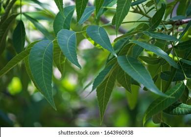 PECAN NUT TREE LEAVES IN A GARDEN