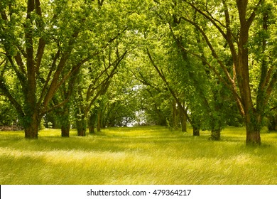 pecan tree alley