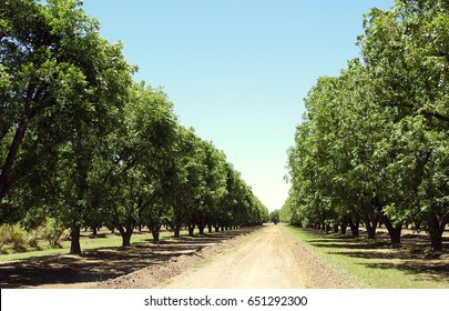 Pecan Trees in a row