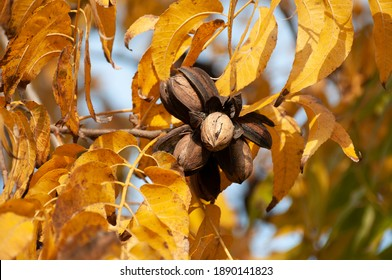 Pecans on a tree in a pecan orchard