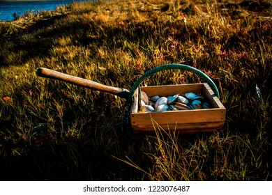 A peck of freshly dug Maine clams sits in a wooden bushel with a clam rake attached to the handle on the green marshland grass at low tide. Maine clams are considered a delicacy to seafood lovers.
