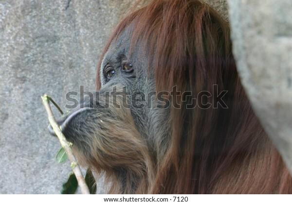 peckish orangutan