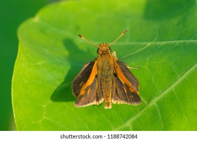 Peck's Skipper Butterfly resting on a green leaf. Edwards Gardens, Toronto, Ontario, Canada.