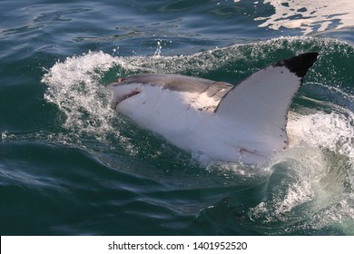 pectoral fin of great white shark, Carcharodon carcharias, False Bay, South Africa, Atlantic Ocean