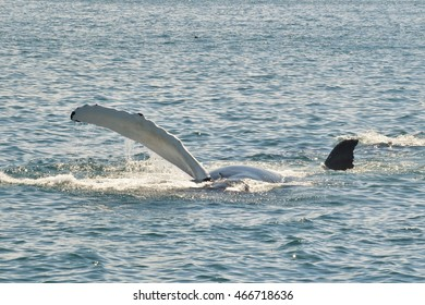 Pectoral slap by humpback whale