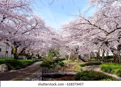Pedestrian path surrounded by cherry trees in full bloom, Tachikawa, Tokyo, Japan