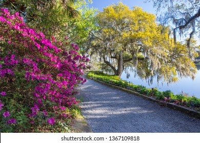 Pedestrian pathway bordered with live oak trees and blooming azaleas along the Ashley River in Charleston, South Carolina.