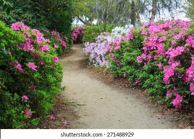Pedestrian pathway through a garden of multi-colored blooming azalea bushes in spring.